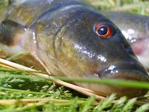 Tench Royalty Free Stock Photography