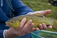 Tench Stock Image