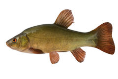 Tench Royalty Free Stock Photo
