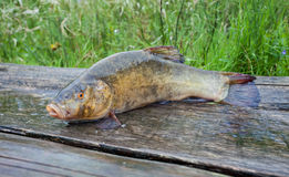 Tench. A fish close up Stock Photo