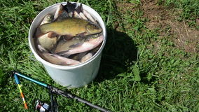 Tench fish Stock Photography