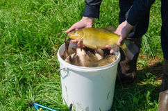 Tench fish on male hand over bucket full of fish Royalty Free Stock Photos
