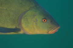 Tench fish Stock Images
