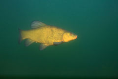 Tench fish Royalty Free Stock Photos