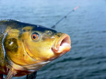 Tench head. Close up of the tench head with open muzzle. Blurred fishing rod and lake surface in the background Stock Photo