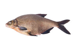 Tench. Stock Photo