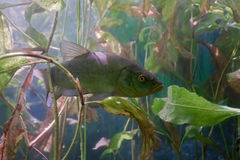 Tench in the lake. On the plants background Stock Photo