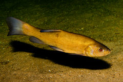 Tench (Tinca tinca) Royalty Free Stock Image