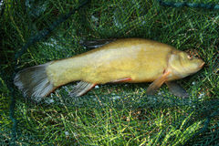Tench - Tinca tinca Stock Photos