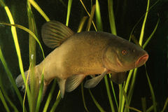 Tench, Tinca tinca Royalty Free Stock Photos