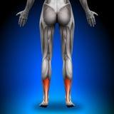 Tendão de Achilles das vitelas - músculos fêmeas da anatomia Imagem de Stock