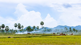 Tend oxen on harvested field, fumes of straw, cloud sky, Mekong Stock Image