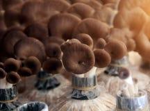Tenda dell'interno del fungo Fotografia Stock