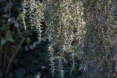 Tenda stupefacente degli aghi communis di Horstmann del juniperus argenteo del ginepro Il bokeh vago del giardino splende attrave fotografia stock