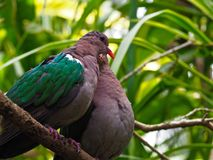 Tender Affectionate Emerald Doves Lovingly Huddling Together. A romantic pair of doves cuddling together against a tropical green background Stock Photography