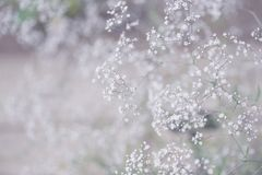 White Gypsophila flowers in the spring garden. Tender airy bloom of the tine white Gypsophila flowers in the spring garden. Light purple toning for dreamy Royalty Free Stock Images