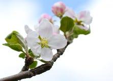 Tender apple flower Stock Images