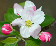 Tender apple flower Stock Image