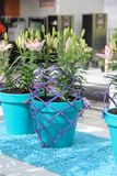Tender beautiful pink lily flowers composition in light blue pots and violet design net in spring time in Keukenhof royalty free stock photo