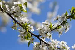 Beautiful tender spring natural cherry blossom tree branch against blue sky, background with space for text stock image