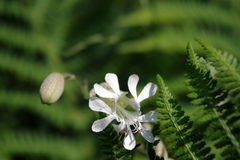 Tender beauty. Flower in czech Switzerland national park stock photography