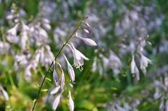 Tender bellflowers on the blurred floral background