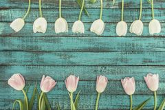Tender blooming tulips over green wooden background Royalty Free Stock Photo