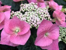 Pink hydrangea in full bloom. royalty free stock images