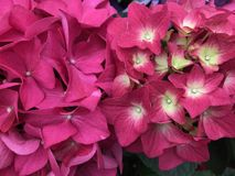 Pink hydrangea in full bloom. stock photography