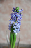 Tender blue hyacinth flowers in a glass vase. Nice pink background, wooden table, spring mood. Tender blue hyacinth flowers in a glass vase with water. Nice pink stock images