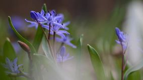 Tender blue squill flowers, Scilla bifolia, on a beautiful spring day, vulnerable nature awaken, extreme blur background video. Vulnerable blue squill flowers stock video