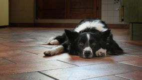 A Border Collie puppy sad and alone at home