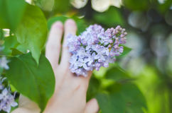 Tender branch purple lilac flowers outdoors macro Royalty Free Stock Photos