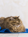 Tender brown tabby female siberian cat lying on a blue carpet. Brown tabby mackerel cat in relax time, siberian hypoallergenic Purebred female stock photos