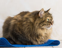 Tender brown tabby female siberian cat lying on a blue carpet. Brown tabby mackerel cat in relax time, siberian hypoallergenic Purebred female.Fluffy cat royalty free stock image