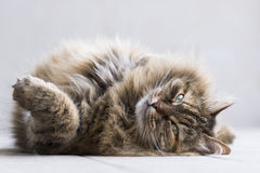 Tender brown tortie mackerel siberian cat finding cuddles Stock Image