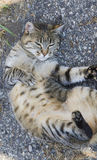 Tender brown white tabby stray cat lying upside down. Pretty fur kitty cat, lying in the garden finding cuddles Royalty Free Stock Images