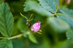 Tender bud of the rose's pink flower Royalty Free Stock Photo