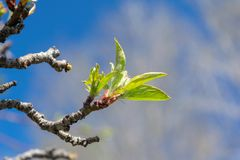 Tender buds start to bloom as spring weather brings sunshine and blue skies. Tender buds begin to bloom as spring weather brings sunshine and blue skies royalty free stock photography