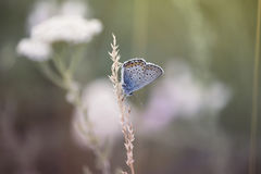 Tender Butterfly on wildflower Royalty Free Stock Photo