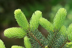 Tender Cedar branches Stock Photo