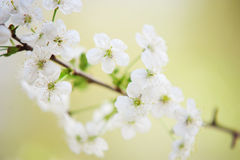 Tender Cherry Blossom. Blossoming branch of the Cherry Tree in the spring time. Close up of the white blooming flowers and green leaves with creamy bokeh Stock Images