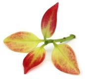 Tender Cinnamon leaves Stock Images