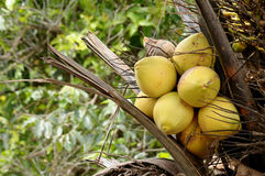 Tender coconuts. Bunch of tender coconuts on the tree Stock Photo