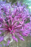 Tender colours. Beautiful flower with a tender colours. It is some kind of decorative garlic or something like them Stock Photos