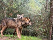 Tender couple of iberian wolves. Canis lupus signatus Stock Photo