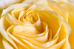 Tender creme rose. Yellow creme rose center macro shot. Shallow depth of field Royalty Free Stock Photography