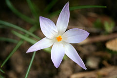 A tender crocus Stock Photos