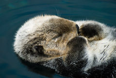 Tender crying otter Stock Photography