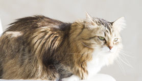 Tender female of siberian cat at the sun, brown white version. Brown white siberian cat at the sun Stock Image
